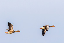 Two Greylag Geese Flying At A ...
