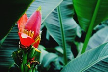 Close-Up Of Red Banana Flower Blooming In Garden