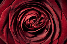 Red Rose Macro Close-up And Top View. Love And Romance Flower Background