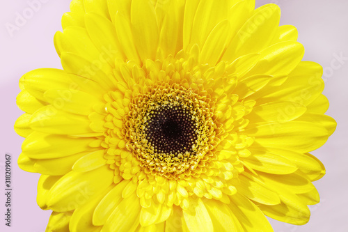Fototapeta Close-up bud gerbera natural flower with yellow colored petals