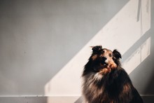 Rough Collie Resting Against White Wall