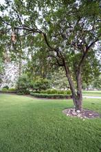 Australian White Ibis Feeding On Fallen Fruits From An African Sausage Tree In Brisbane's City Botanic Gardens
