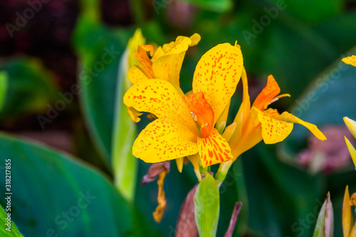 beautiful colorful flowers of a african arrowroot plant in closeup, tropical orn Canvas Print