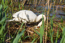 Swan In Its Nest Arranging The Eggs