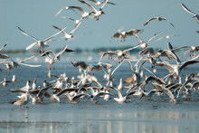 Flock Of Seagulls In Camargue,...