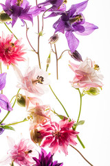 aquilegia flowers on the white background