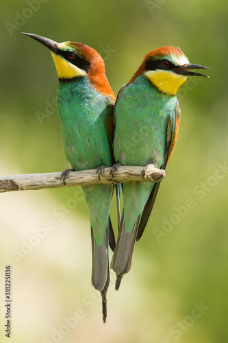 Photo European bee-eater (Merops apiaster), wildlife colorful bee eater bird in natura