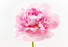 Fresh Peony Flower On The Whit...