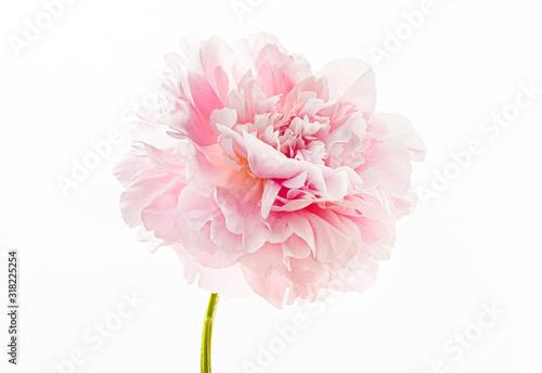 Obraz fresh peony flower on the white background - fototapety do salonu