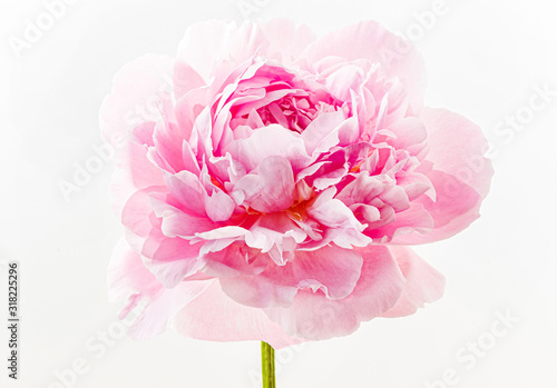 fresh-peony-flower-on-the-white-background
