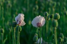 Poppy Heads With White Field P...