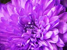 Purple Chrysanthemum Flowers. ...