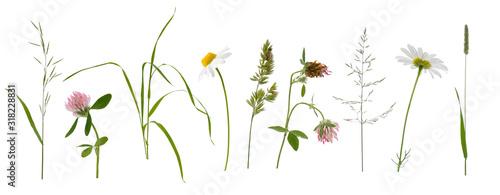 Stems of various meadow grass and flowers on white background Obraz na płótnie