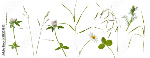 Obraz Stems of various meadow grass, flowers and inflorescence on white background - fototapety do salonu