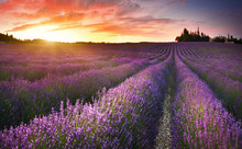 View Of Lavender Field At Sunr...