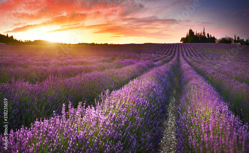 Fototapeta View of lavender field at sunrise in Provence, France obraz