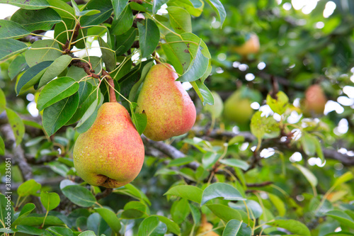 Photo Ripe organic cultivar pears in the summer garden.