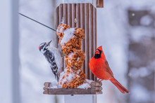 Red Headed Woodpecker And Nort...