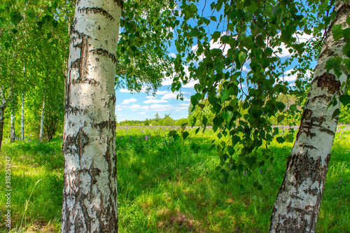 Birchwood in a sunny summer day in Russia. Natural background. Canvas Print