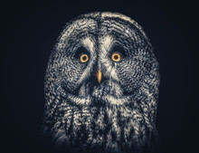 Portrait Of Owl Against Black Background