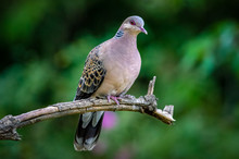 Oriental Turtle Dove, Birds Of...