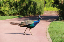 Peacock Walking Freely In A Park