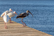 flock of wading birds on a dock