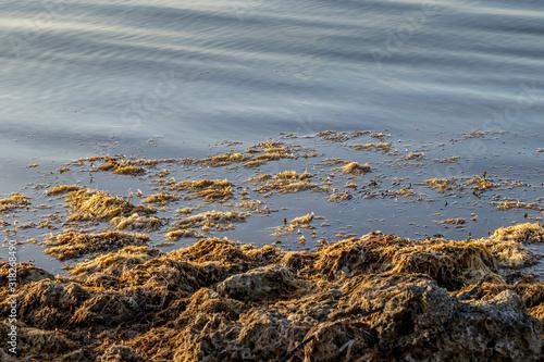 Photo Seaweed on the shore in Key Largo, Florida
