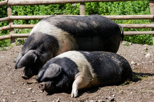 Wessex Saddleback Pigs At The ...