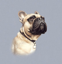 Cute French Bulldog Isolated On Gray Background. Realistic Drawing Of Boxer Dog. Hand Painted Illustration Of Pets. Animal Art Collection: Pedigree Dogs. Good For T Shirt, Pillow. Design Template