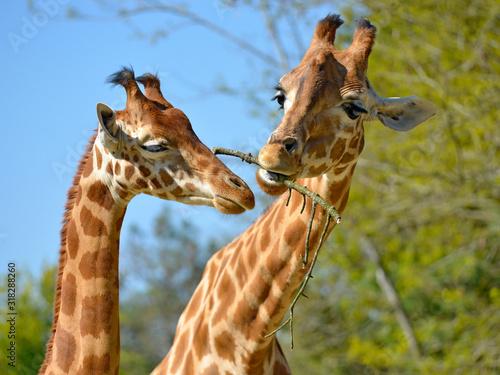 Photo Closeup of two giraffes (Giraffa camelopardalis) eating a twig