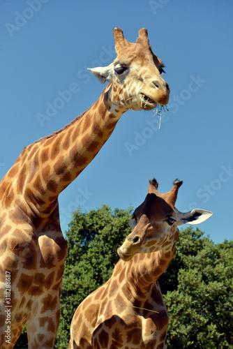 Closeup of two giraffes (Giraffa camelopardalis) with a twig Wallpaper Mural