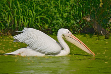 Closeup White Pelican, (Pelecanus Onocrotalus) On The Water Where Green Duckweed Float
