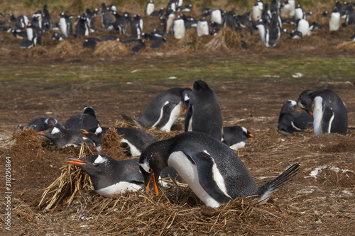 Obraz Gentoo Penguins (Pygoscelis papua) nesting on Sea Lion Island in the Falkland Islands. - fototapety do salonu
