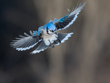 Blue Jay Landing In Winter