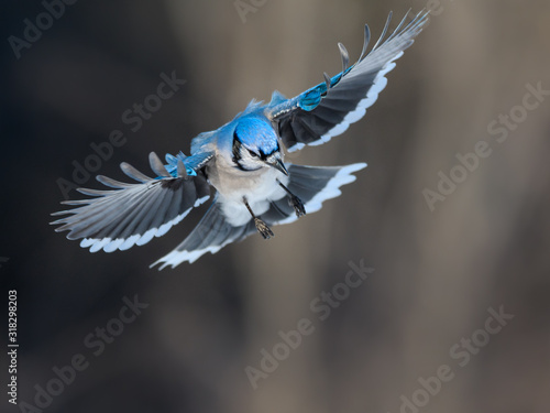 Fotomural Blue Jay Landing in Winter