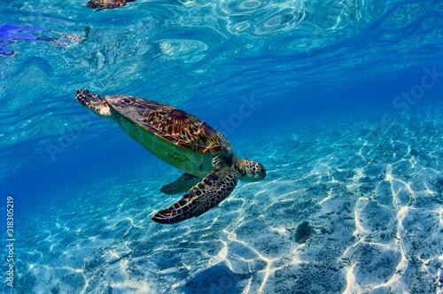 Billede på lærred 沖縄のビーチで泳ぐウミガメ