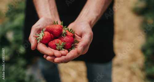 Fotomural Crop farmer showing ripe strawberries after first harvest