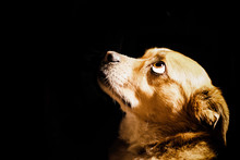 Close-Up Of Dog Looking Up Against Black Background