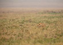 A Lioness Stalking At Masai Ma...