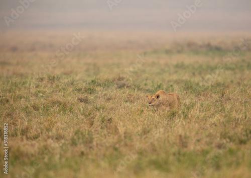 A lioness stalking at Masai Mara, Kenya Canvas-taulu