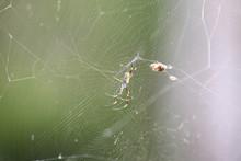 Golden Silk Orb-weaver Spider ...