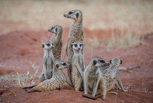 Meerkats Resting On Field