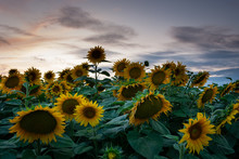 Sunflower Field And Clouds Aft...