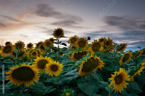 Sunflower field and clouds after sunset in Zarzecze, Poland