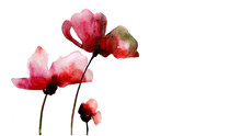 Red Poppy Flowers, Watercolor ...