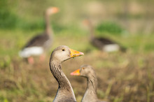 Greylag Goose, Greylag Geese, ...