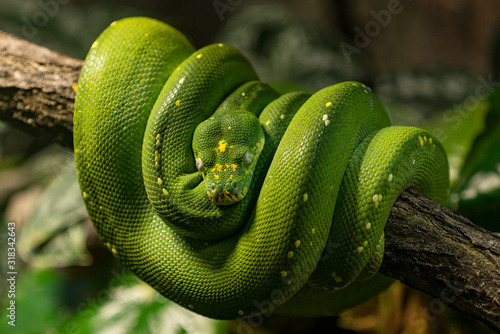 Close-Up Of Green Snake On Branch Wallpaper Mural