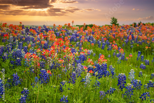 Obraz Texas bluebonnets and Indian Paintbrush wildflower field blooming in the spring at sunset - fototapety do salonu