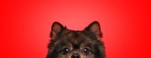 Spitz Dog With Brown Fur Hidin...